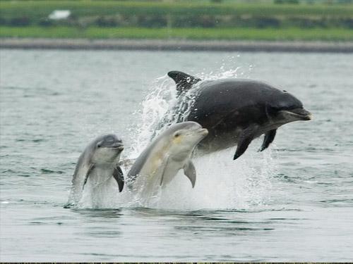 delfiny-wprowadzaja-sie-do-rzeki
