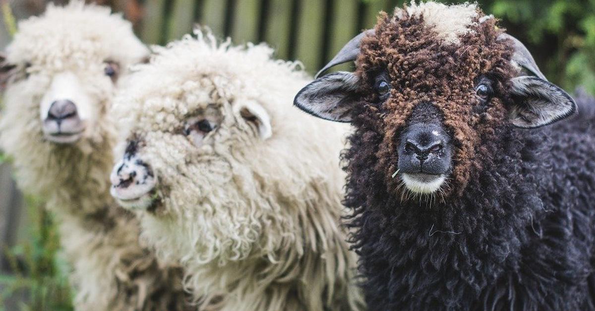 owce-w-miescie-2