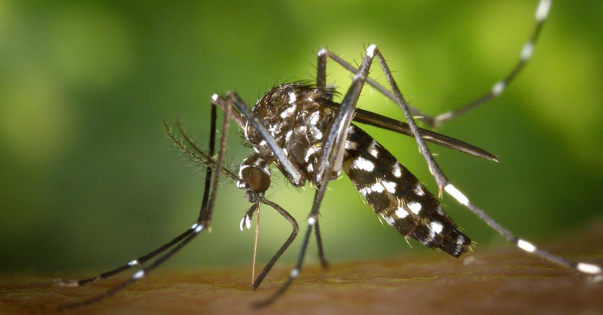 komary-zmutowane-2