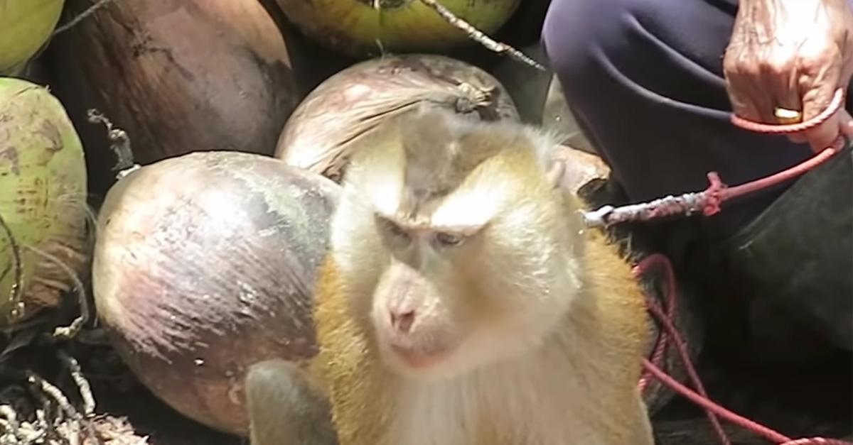 malpy-do-zbierania-kokosow