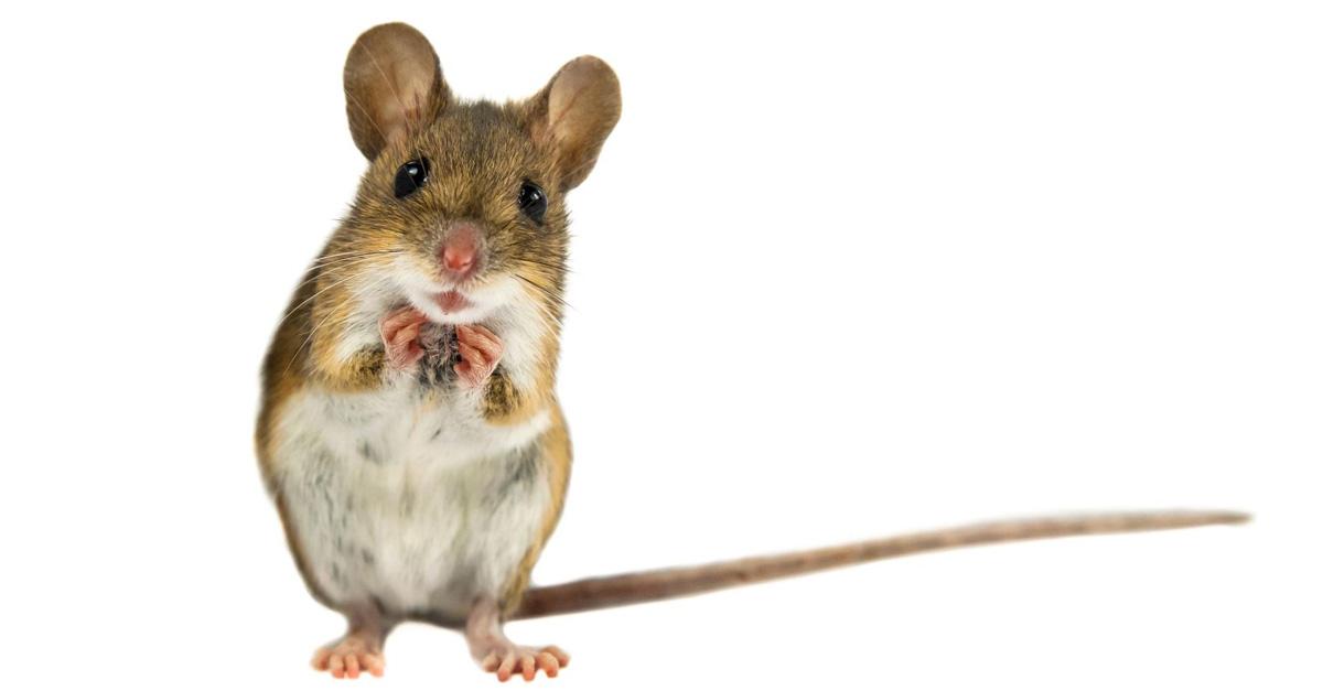 myszy-1